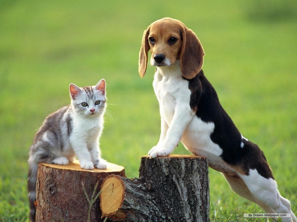 Beagle, vraiment hâte d'adopter mon futur chien